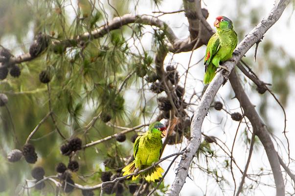 parrots-1 (1 of 1)