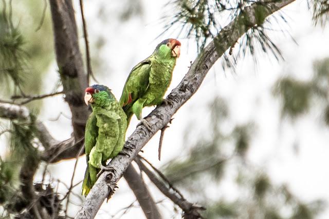 parrots-2 (1 of 1)