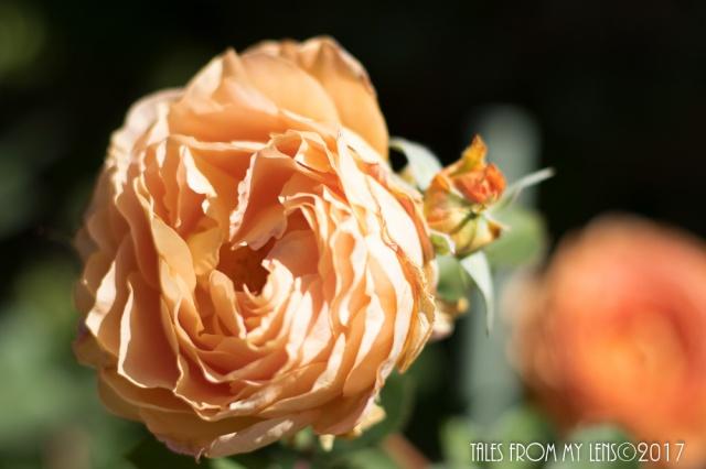 rose1-1-of-1