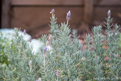 lavendar (1 of 1)