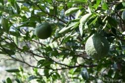lemon (1 of 1)