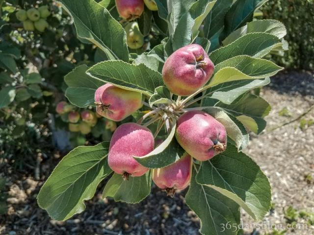 apple-1 (1 of 1)