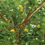 fruittree (1 of 1)